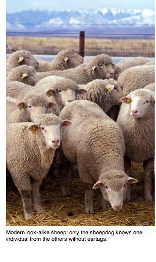 sheep_wikimedia.jpg
