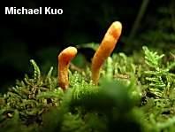 fungus_cordyceps_militaris_01_thumb.jpg