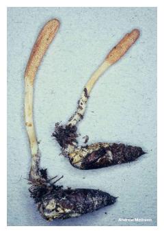 fungus_cordyceps_militaris_03.jpg
