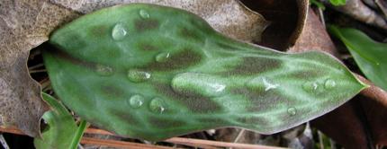 erythronium leaf2.jpg