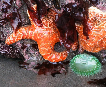 SeaStars&anemones.jpg