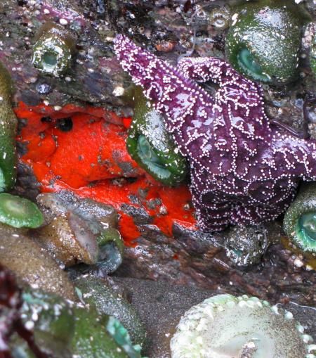Ophlitaspongia pennata (Red encrusting sponge).jpg