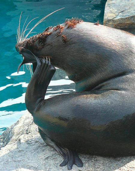 SeaLionScratching.jpg