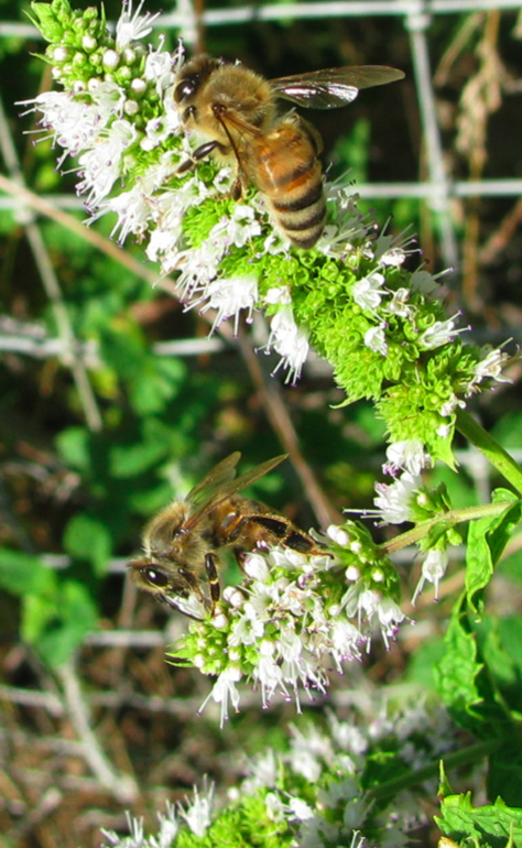 BeesOnMint1CR.jpg