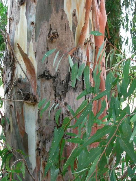 EucalyptusBark&Scale.jpg