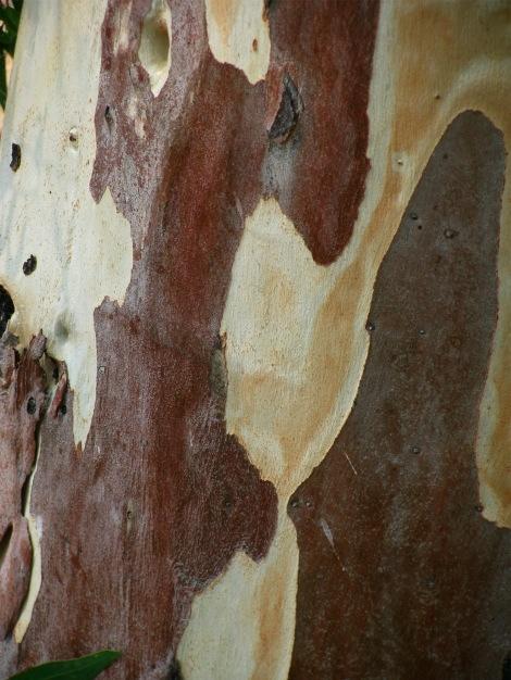 EucalyptusBarkWoodpecker.jpg