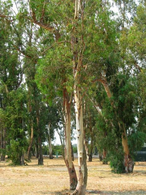 visit to a california eucalyptus grove