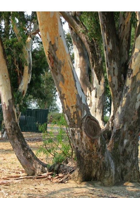 EucalyptusMulti-trunk2.jpg