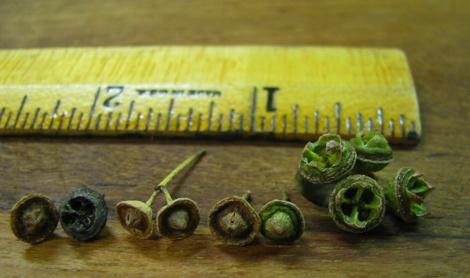 EucalyptusSeeds&Ruler.jpg