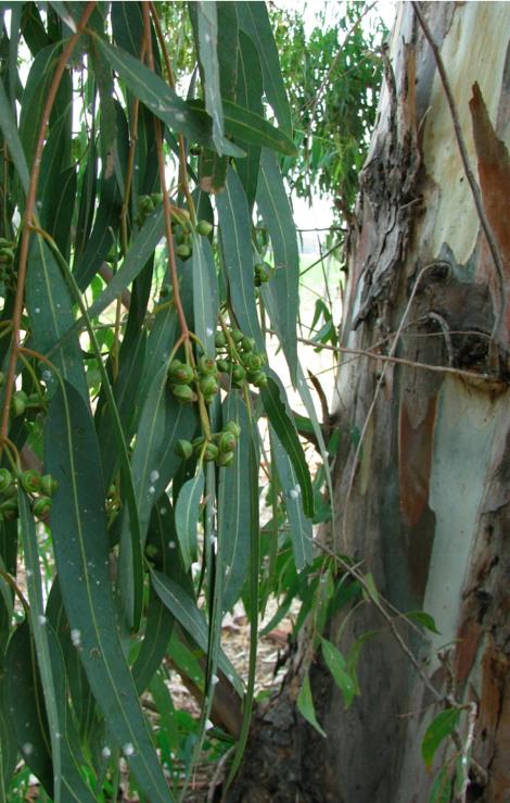 EucalyptusSeedsScaleBark.jpg