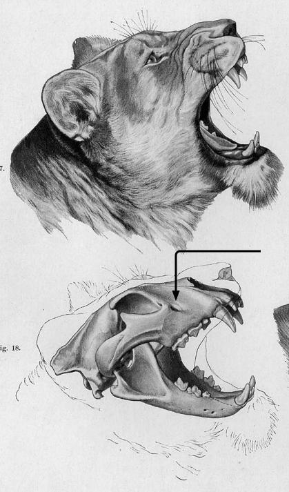 LionSkullAnatomicvalIllustration.jpg