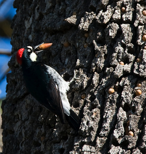 AcornWoodpecker&Acorns.jpg