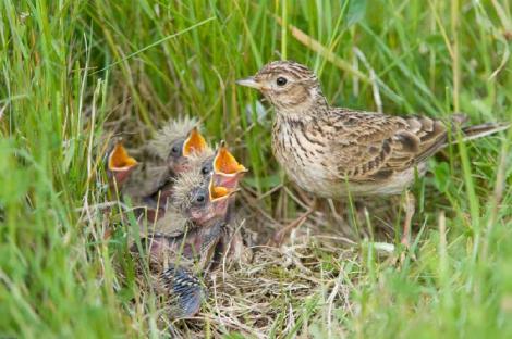 skylark Nest2.jpg