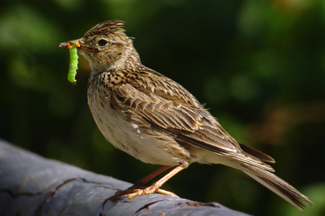 skylark, worm in mouth.jpg