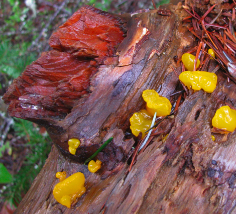 Witches' butter 1CR.jpg