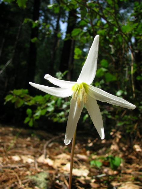 E. oregonum1.jpg