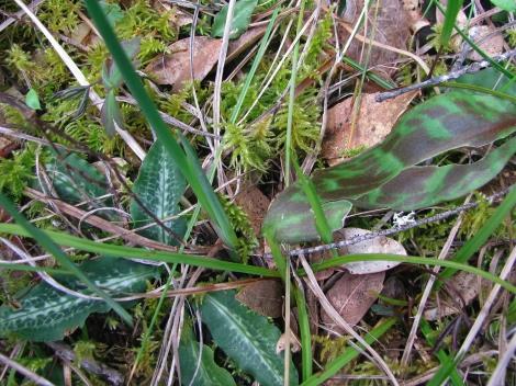 EOregonum& Rattlesnake plantain1.jpg