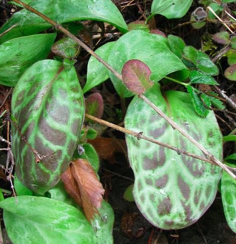 Frit Erythronium leaves.jpg