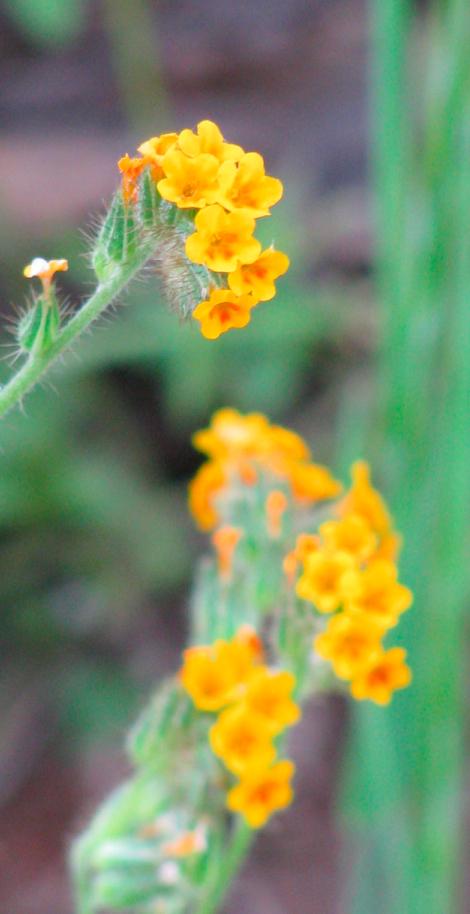 Bugloss fiddleneck, Amsinckia lycopsoides.jpg