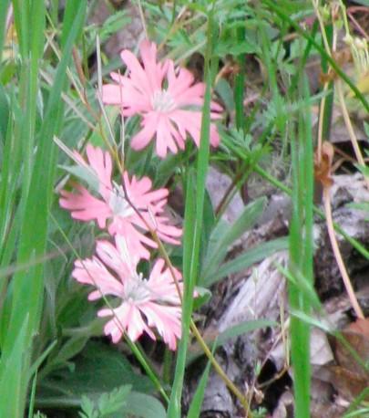 Hooker's Indian Pink, Saline hookeri MOREPINK.jpg