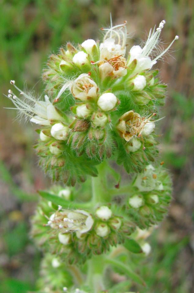 Phacelia heterophylla .jpg