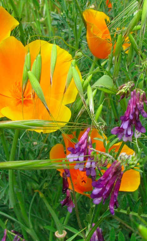 Poppies&Vetch.jpg