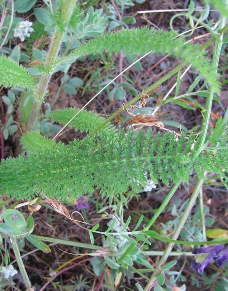 achillea millefolium leaf .jpg