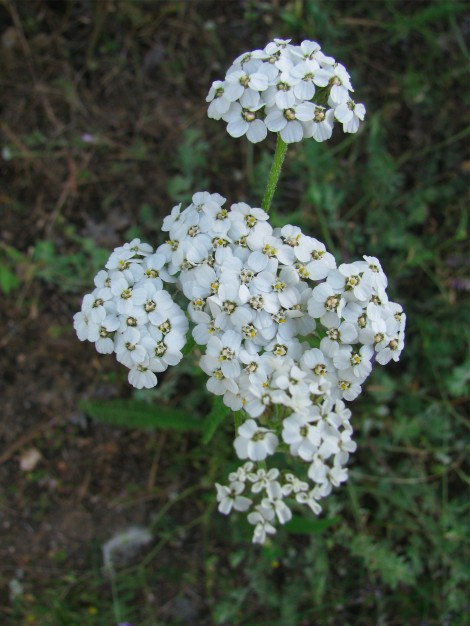 Achilleia millefolium flowers.jpg