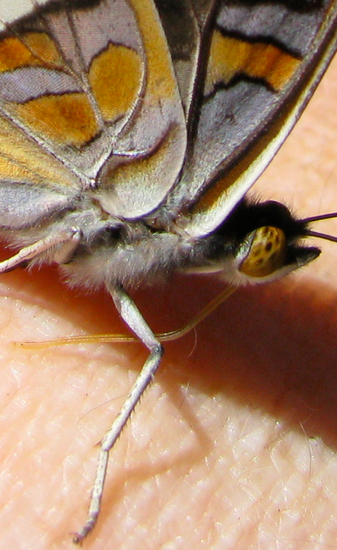 Adelpha bredowii, closeup.jpg
