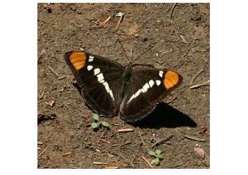 Adelpha bredowii, dorsal view.jpg