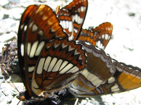 ButterfliesOnScat1.jpg