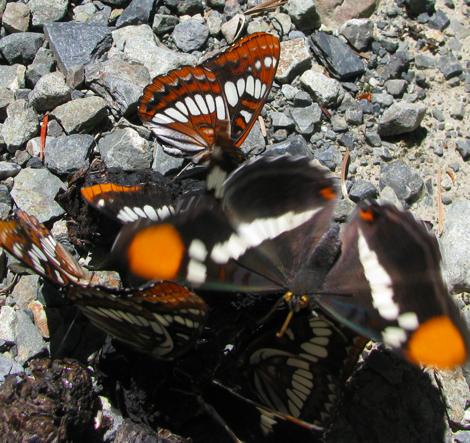 ButterfliesOnScat2.jpg