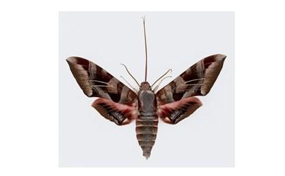 Hawkmoth 1.jpg
