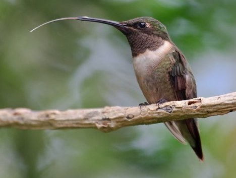 hummingbirdTongue.jpg