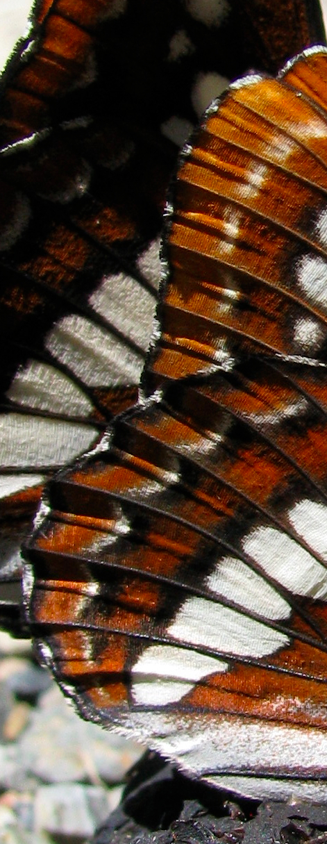 Limenitis lorquini close-up.jpg