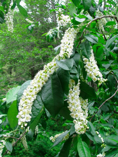 Prunus virginianus .jpg