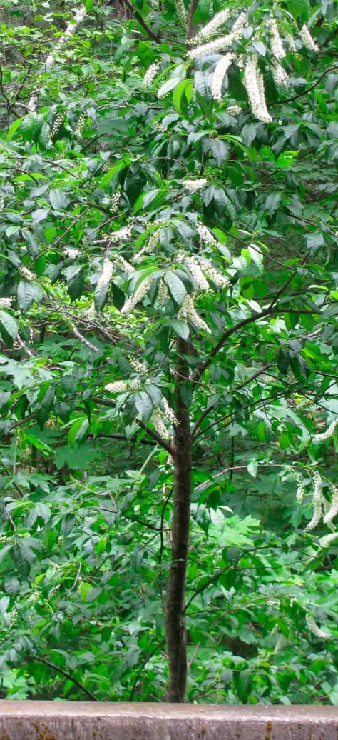 Prunus virginianus tree.jpg