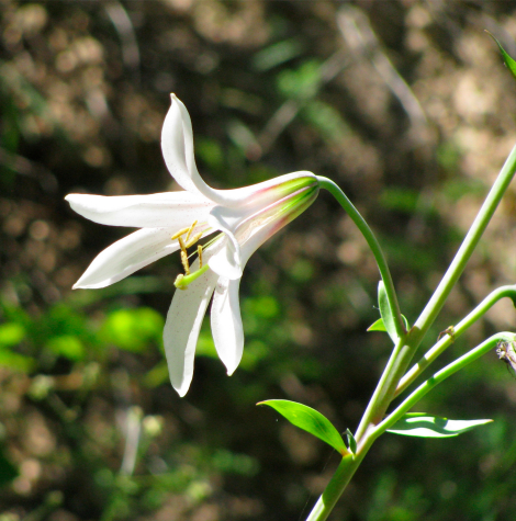 Washington lily 3.jpg