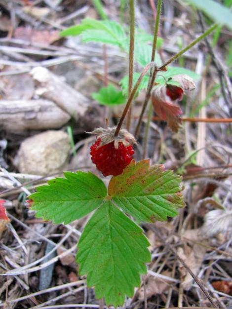 WildStrawberries GreenLeaf.jpg