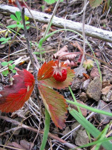 WildStrawberriesRedLeaf.jpg