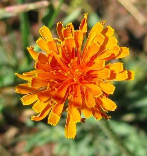 Agoseris aurantiaca, Orange AgoserisCLOSE.jpg