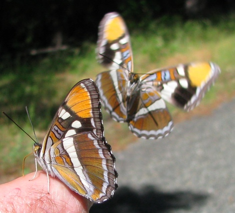 California Sister butterfly,one flying at another.jpg