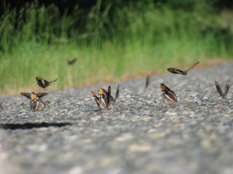 California sisters butterflies landing on road.jpg