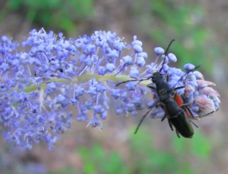 Ceanothus thyrsiflorus & mating beetles.jpg