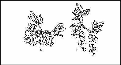 Currant-gooseberry drawing.jpg