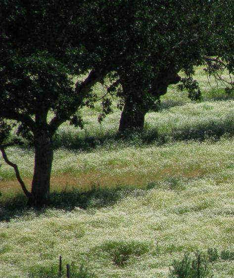 Daisies& Oaks.jpg