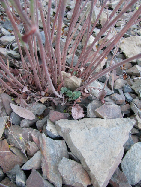 Eriogonum spp. base of leafless bush.jpg