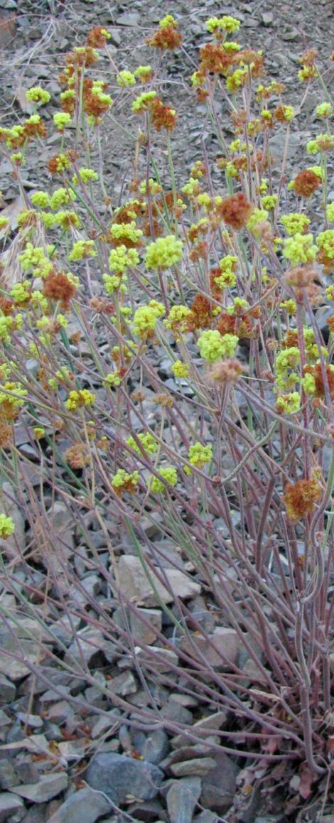 Eriogonum spp. bush.jpg