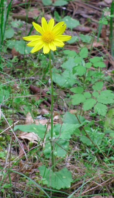 Heartleaf Arnica, Arnica cordifolia .jpg