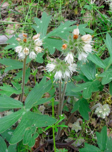 Hydrophyllum fendleri Fendler's waterleaf - 1.jpg
